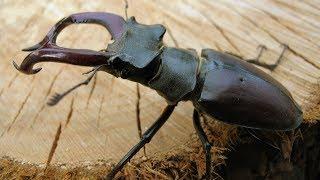 Ручной жук олень