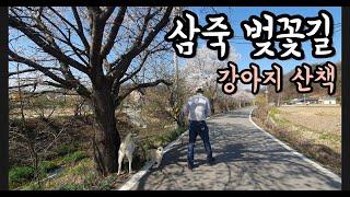 삼죽특수가스 아빠랑 딸이랑 강아지랑 삼죽 벚꽃길 산책 …