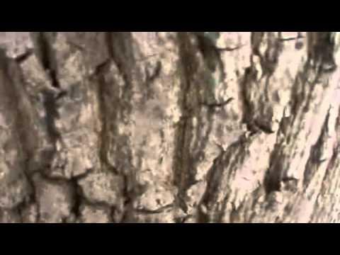 Клён ложноплатановый - Клен - Лиственные деревья и