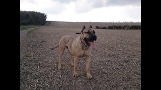 Presa Canario - Security Dog