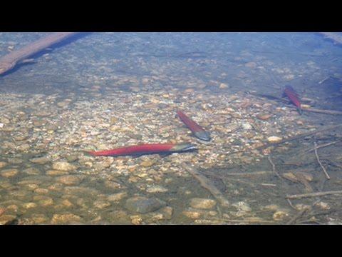 Spawning Sockeye Salmon At Little Redfish Lake Idaho