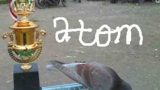 """*Atom* Merpati tinggi kolong """"Tunggal Jaya"""" Banjaratma Brebes."""