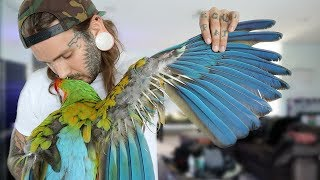 My Parrot is Destroying her Wings! Medicating my sick macaw.. Not easy to share :/