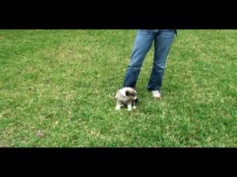 Australian Shepherd Puppy Sydnie Bringing her home
