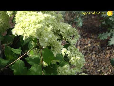 Описание и видео гортензий во время цветения