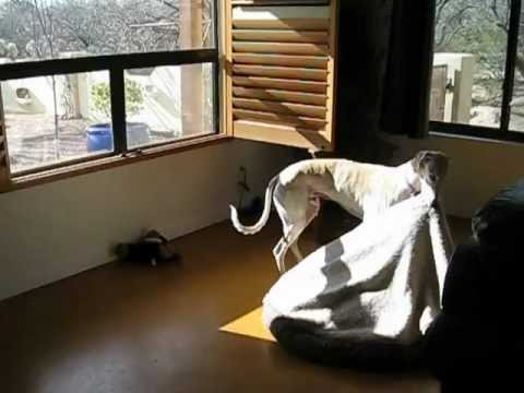 arizona greyhound rescue - mr. fry and his traveling bed - youtube