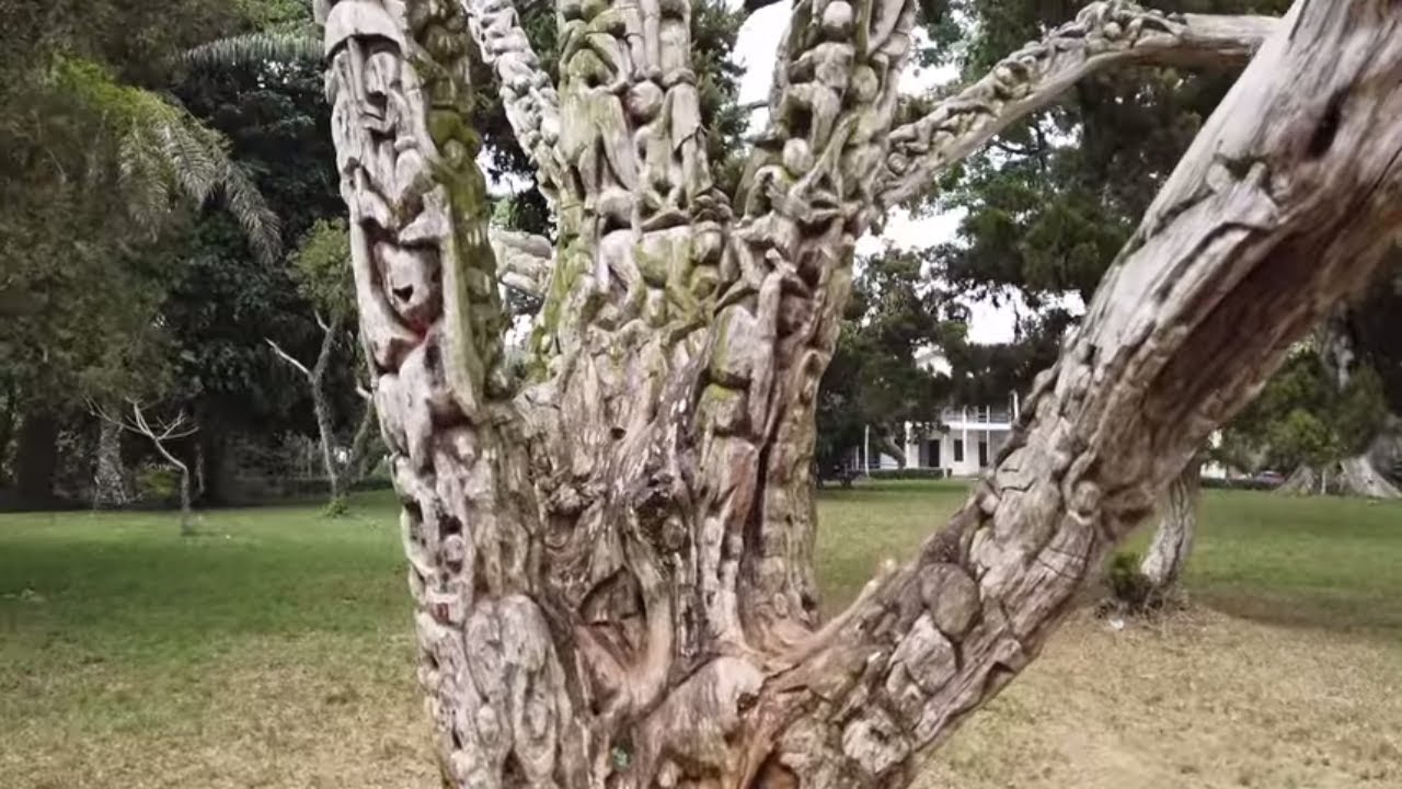 Amazing Tree Of Life Of Ghana This Tree Tells A Story Youtube