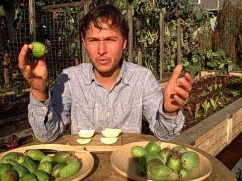 Harvesting Feijoa Aka Pineapple Guava And Garden Taste