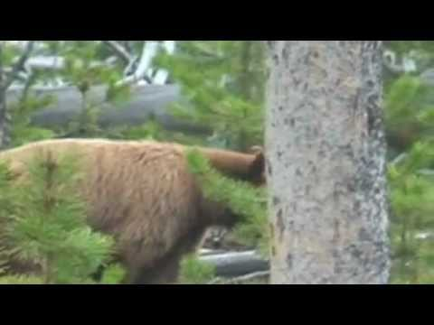 Bear eating Elk Calf Alive in Yellowstone Park