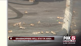 Grasshoppers take over the valley