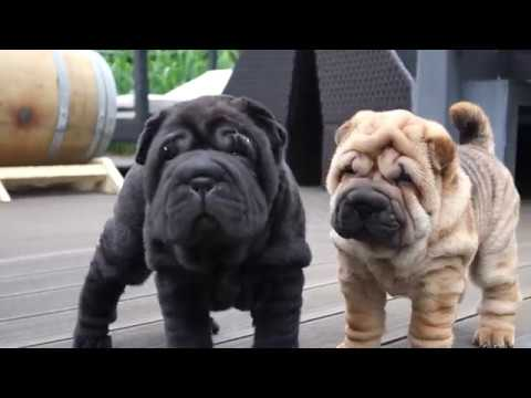 Sharpei Puppies 6 Weeks Old Already