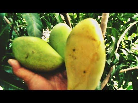 Konsumsi buah mangga bisa meningkatkan daya tahan tubuh from YouTube · Duration:  3 minutes 58 seconds