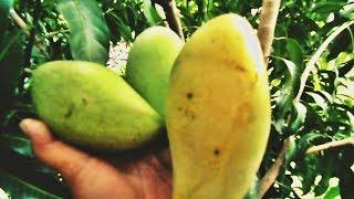 Petik Mangga Arum MANIS Matang Pohon