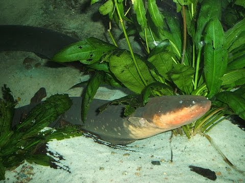 Electric eel shocks imitation predator