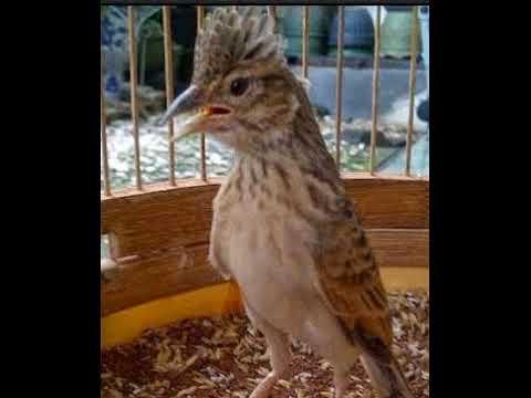 Master ampuh nembak rapat agar burung branjangan anda semakin gacor...........!!
