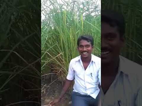 ஓங்கி ஒய்யாரமாக நிற்கும் மாப்பிளை சம்பா- ஒற்றை நாட்டு முறையில்
