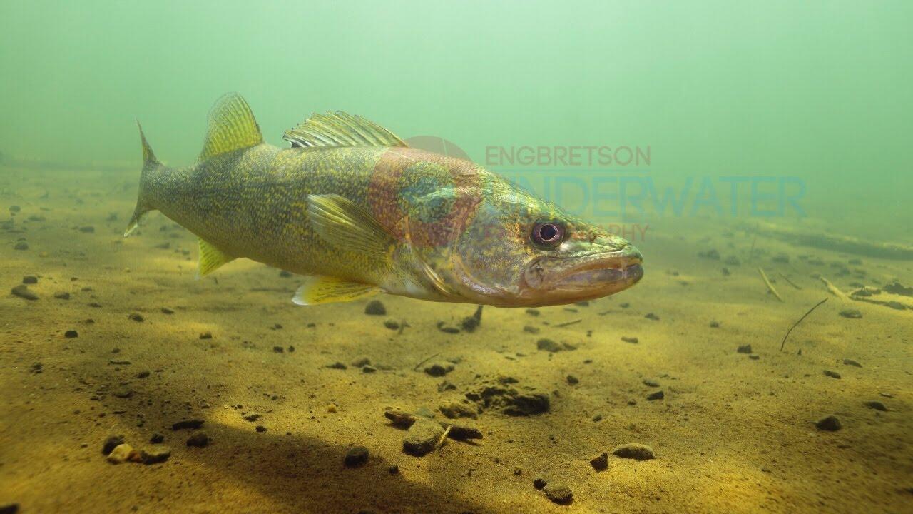 Walleye Underwater HD Footage #1-Engbretson Underwater ...  Walleye Underwa...