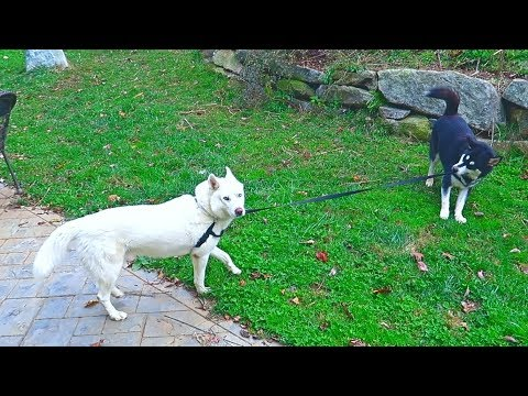 Malamute Walks Husky on Leash - Funny dogs
