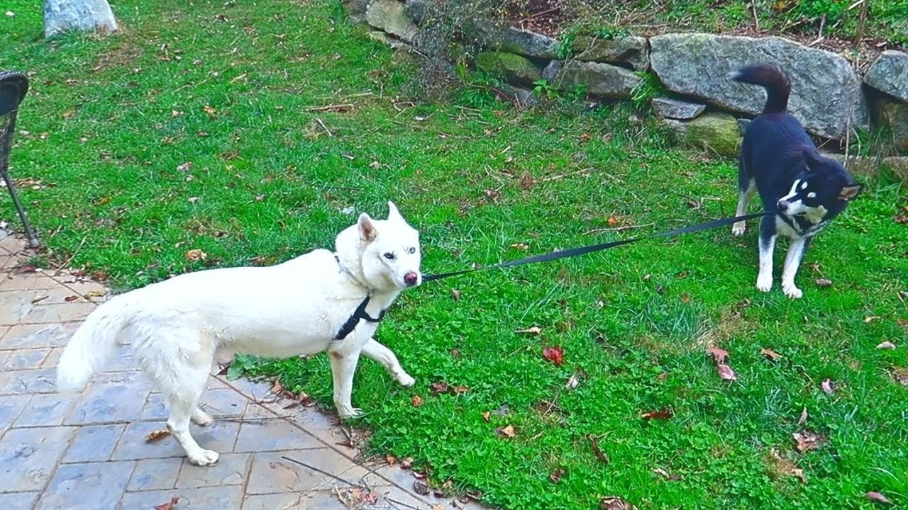 Malamute Walks Husky on Leash - Funny dogs