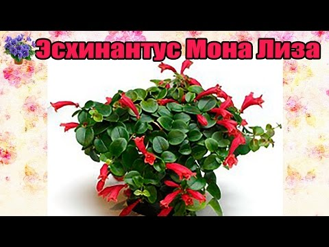 Комнатное растение эсхинантус Мона Лиза Искажённый цветок