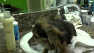 P-nut the chiahuahua hates baths Thumbnail