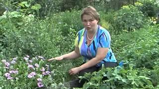 Вершинная гниль томатов и другие напасти(, 2014-08-14T12:02:24.000Z)
