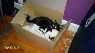 猫界に凄腕の解体屋がいるらしい。大きな段ボールを3か月かけて完全解体したエリオットの仕事っぷりを1分で見る動画