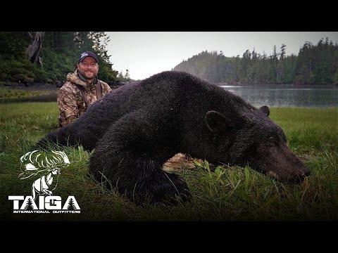 Huge Coastal Black Bears On Vancouver Island!
