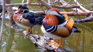 Mandarin Duck & Wood Ducks in the Wild