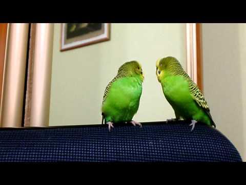 знакомства птица говорун