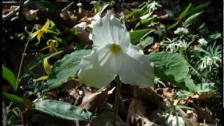 Rescuing the Spring Beauties & other Native Plants