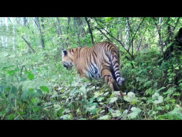 В Приморье выросла популяция амурского тигра.