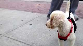 Buddy the Poodle for adoption in NY