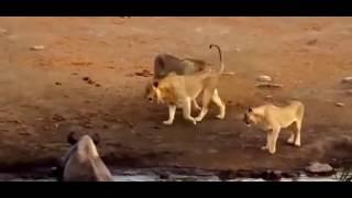 三头狮子大战犀牛,好一场以弱胜强的激烈战斗
