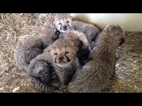 Cheetah Cub B-Roll for Media Use—April 5, 2017