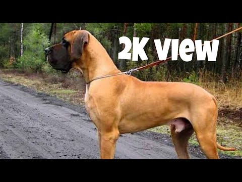 Dog breed - GreatDane dog,Great Dane Dog for matting/cross BY - Brother's petcare