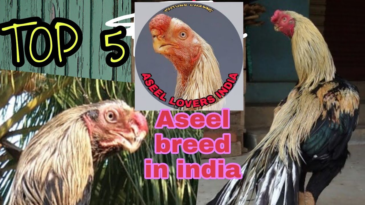 Most Beautiful Aseel Breeds In India Top 5 Parrot Beak Long Tail Aseel Breeds Aseel Murga Collectio