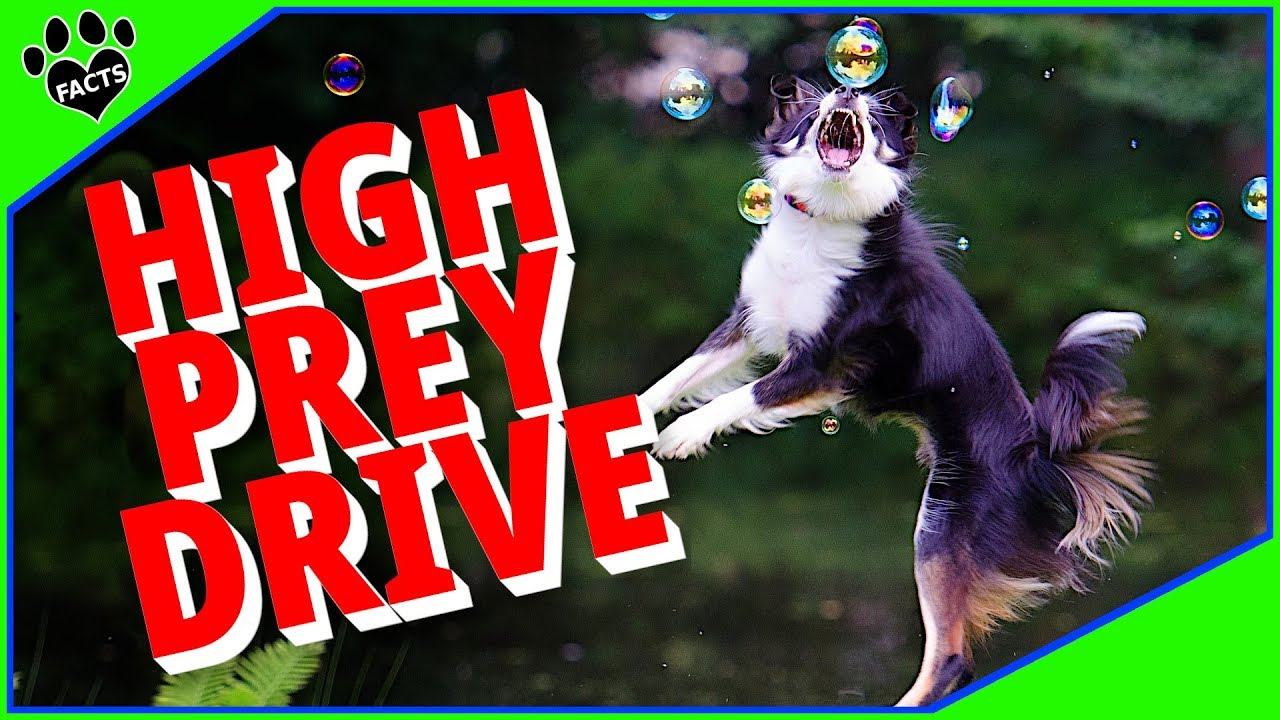 Difficult Dog Breeds - High Prey Drive