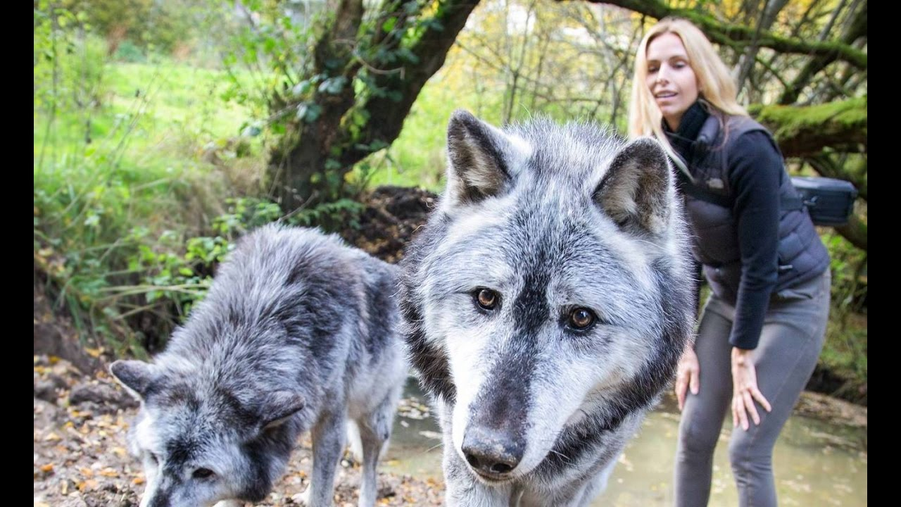 Massive Canadian Wolves Up Close Wolf Girl Anneka Youtube