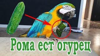 Говорящий попугай ара ест огурец. Попугай Ара Рома прикол.