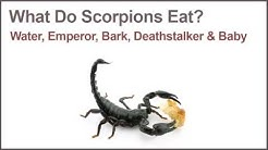 What Do Scorpions Eat