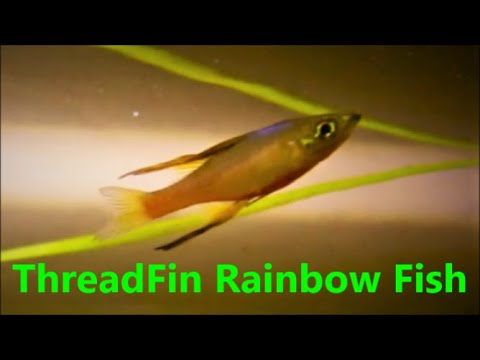 Threadfin Rainbow Fish Care & Tank Set Up Guide