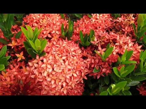 TROPICAL PLANTS: Ixora Flowers