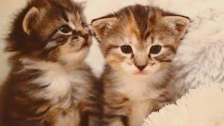 трехцветные кошечка и котик - милота зашкаливает :)