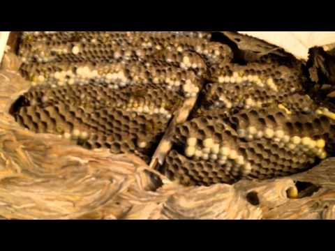Removal of a large paper wasp nest