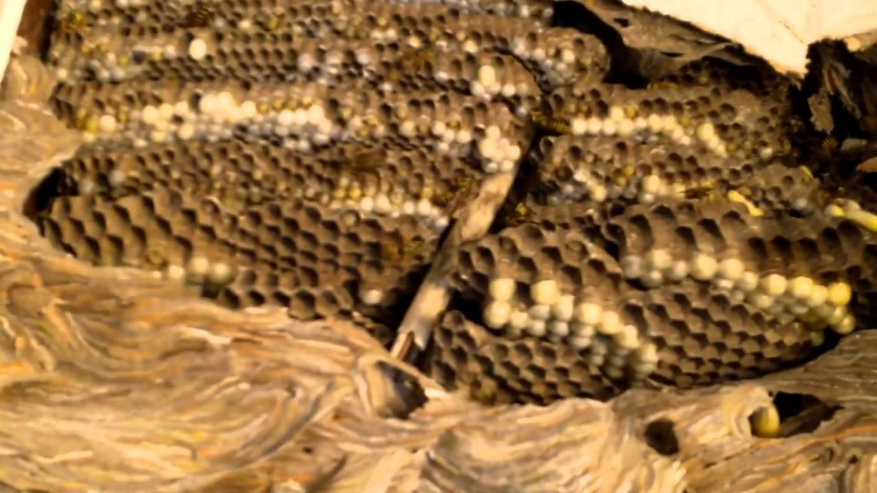 Removal of a large paper wasp nest - YouTube