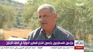 فلسطين: مزارعون يعتمدون المعايير الدولية بقطف وعصر الزيتون
