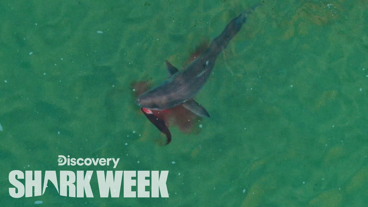 Drone Spots Shark Hunting Seal | Shark Week