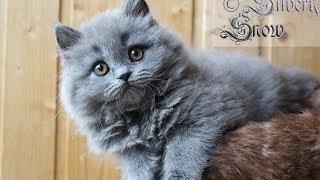 Пушистый как перс. Британский длинношерстный котенок. British longhair kitten