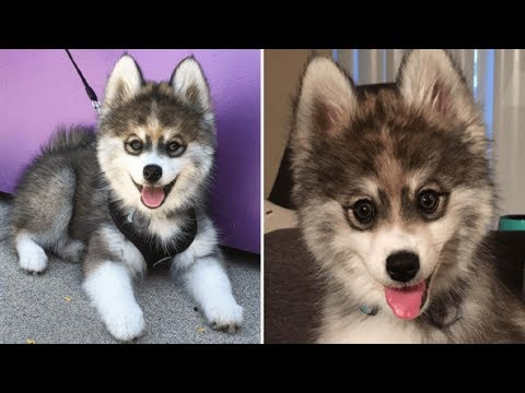 This Puppy Is A Husky Pomerainian Mix — And People Are Losing Their Minds Over How Cute He Is